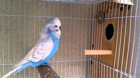 english budgie breeding pair 3 youtube