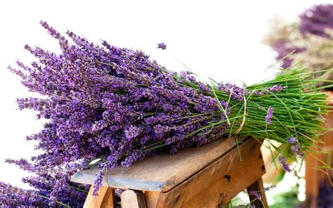 fresh lavender fresh lavender wallpapers fresh lavender stock photos