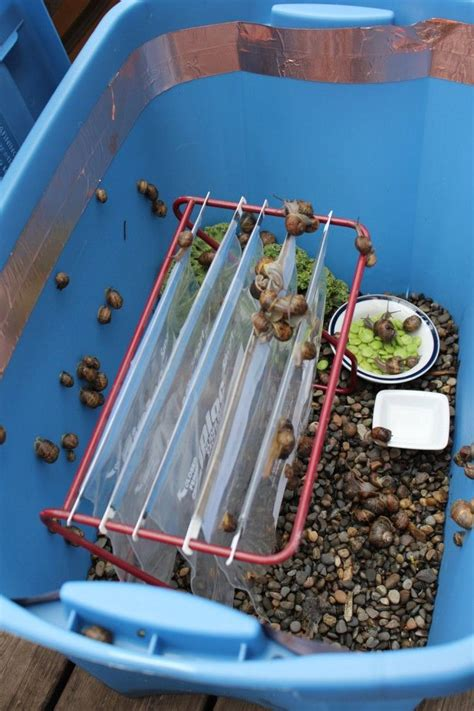 how to find a snail in your backyard snail home home aquaponics pinterest snail farming