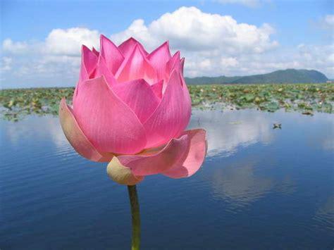 lotus flower symbolism archi livingcom