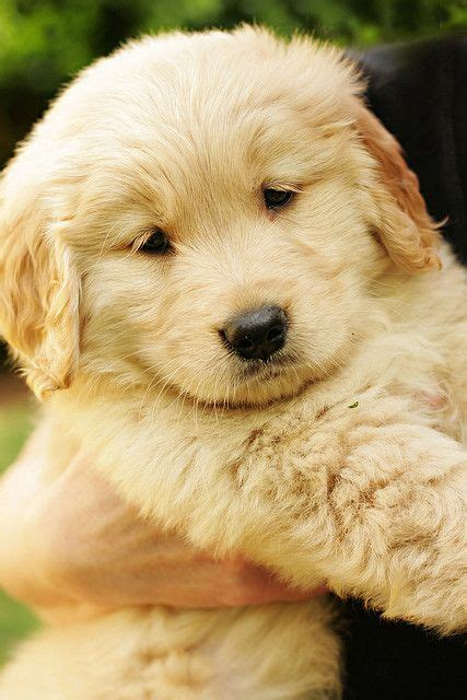 golden retriever puppy and baby golden retriever baby golden puppies