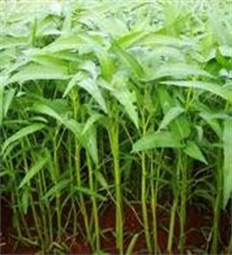 husni mubarak manfaat  khasiat tanaman kangkung