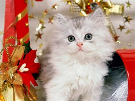 wallpaper cats christmas christmas cat wallpaper cats wallpaper 9638580 fanpop