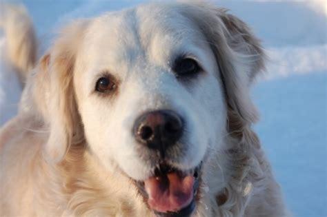 golden retriever asthma hunde oder quot ein leben ohne mops ist m 246 glich aber sinnlos quot lebe liebe lache