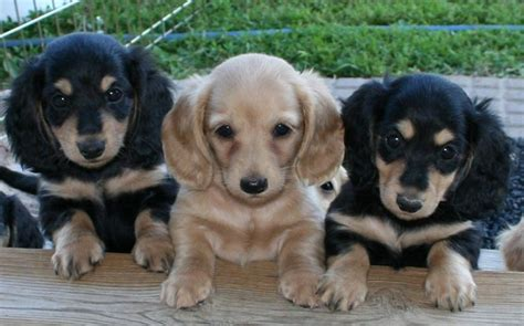 standard size dachshund puppies for sale teacup dachshund puppies for sale miniature dachshund teacup dachshund