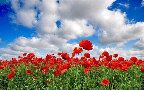 computer wallpaper poppies poppy backgrounds wallpaper cave