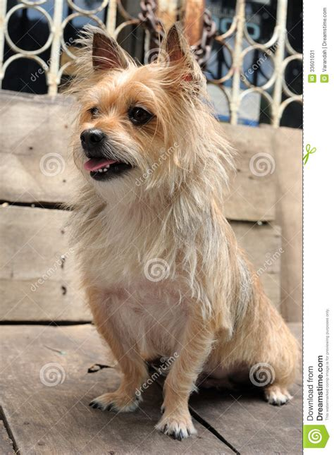 yorkie mixed breeds mixed breed terrier stock image 33601031 small breeds with pictures