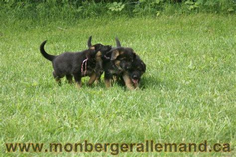 lade le berger les berger allemand race du qu 233 bec chiots berger