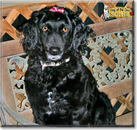 Sophie - Curly Coated Retriever - October 8, 2008