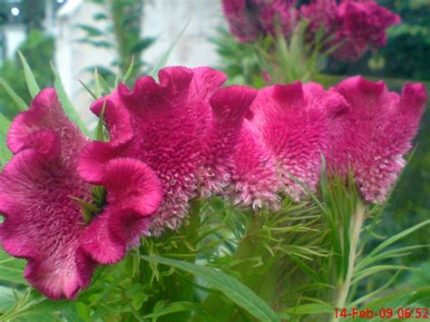 Tanaman Jengger Ayam Merah Jumbo bunga unik bunga jengger ayam jeprat jepret hape