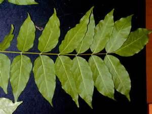 wisteria sp