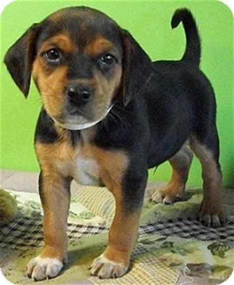 german shepherd beagle mix puppies earnhart adopted puppy struthers oh german shepherd beagle mix