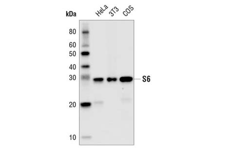 s protein hrp conjugate cst s6 ribosomal protein 54d2 mouse mab hrp conjugate