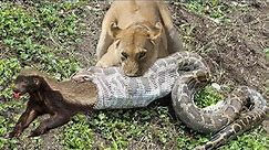 Lion of The God! Python, Honey Badger & Jackal Fight Each Other – Hyenas Protect Baby From Wild Dogs