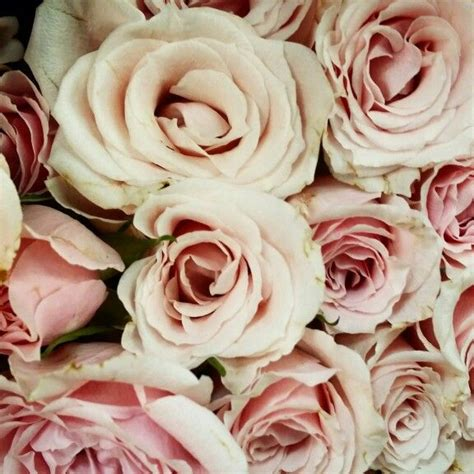 Blush Colored Roses