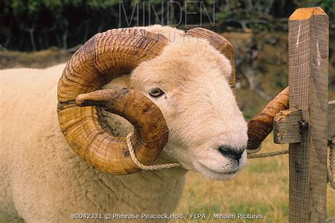Domestic Ram