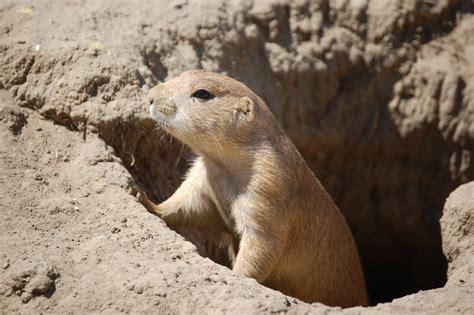 Prairie Dog Hole