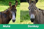 What Is the Difference Between a Donkey and a Mule