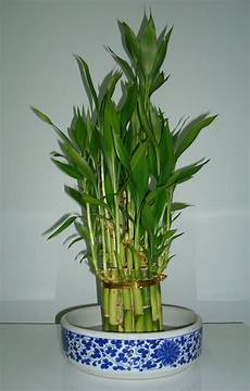 fox photographs diaries and thoughts lucky bamboo