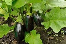 coltivazione melanzane in vaso coltivazione melanzana coltivazione ortaggi come