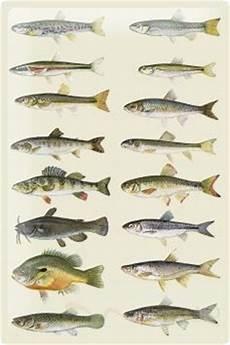 fischarten liste mit bildern blechschild zeichnung malerei angeln bild fischarten liste