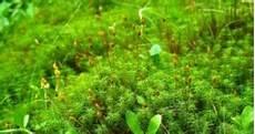 21 Ciri Ciri Tumbuhan Lumut Daun Bryophyta Beserta