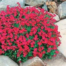 perennial flowers aubrieta plant cascade