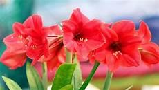 amaryllis pflege nach blüte amaryllis pflege vor nach der bl 252 te plus tipps zum