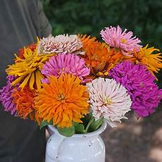 Cactus Mix Zinnia Seeds From Park Seed