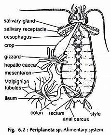 Labelled Diagram Of Cockroach Brainly In