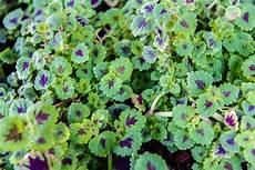 Gambar Menanam Herba Flora Bunga Liar Kerenyam