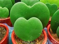 plante hoya kerrii hoya kerrii sweetheart hoya world of succulents