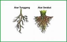 Mengenal Jenis Jenis Akar Pada Tumbuhan Tunggang Dan Serabut