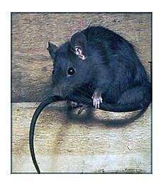 Comment Se D 233 Barrasser Des Rats