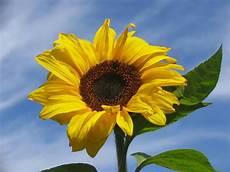 significato girasole nel linguaggio dei fiori il significato dei fiori girasole nel linguaggio dei