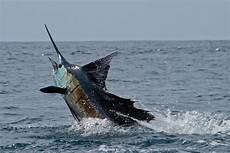 Gambar Ikan Marlin Gambar Ikan Hd