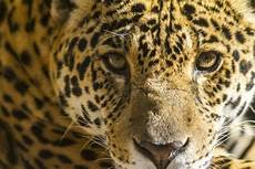 trump s wall threatens last jaguars in the u s
