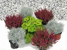 herbstblumen balkon winterhart 196 hnliches foto grabgestaltung plants garden edging