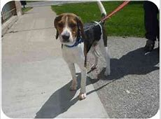 Porthos   Adopted Dog   Barrie, ON   Beagle/Foxhound Mix