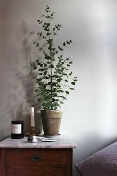 schlafzimmer pflanzen gesund eukalyptus geliebt koalas und gesund f 252 r menschen