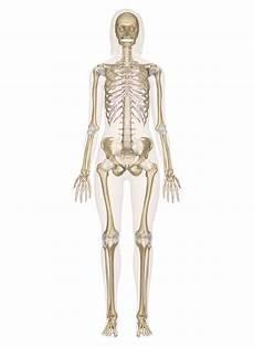 human skeletal system diagram labeled skeletal system labeled diagrams of the human skeleton