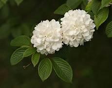fiore a palla palla di neve piante da giardino palla di neve giardino