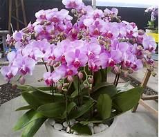 jual bibit bunga anggrek bulan ungu di lapak sutris bibit