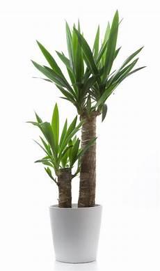 yucca palme pflegen 10 low maintenance plants for non green thumbs