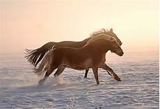 pferde im schnee iv foto bild tiere haustiere pferde