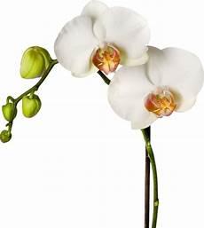 Wandtattoo Orchidee Nat 252 Rliches Wandtattoos