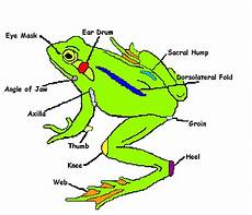 frog anatomy diagram labeled frog diagram general anatomy apple unit frogs and anatomy