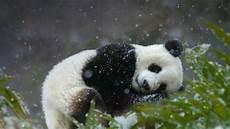 Foto Gambar Panda Lucu 15 Lu Kecil