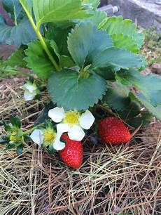 Gardening Strawberries by Tips For Growing Strawberry Plants Modern Homesteading
