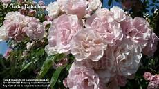 tausendsch 246 n rambler kletterrose rosa leicht